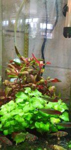 Alternanthera reineckii not doing well behind lobelia cardinalis 'wavy'