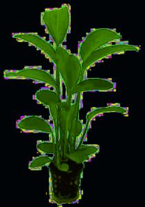 Echinodorus radicans emersed growth form