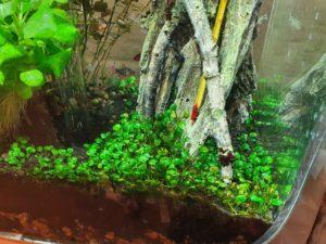 Marsilea hirsuta aquarium carpet