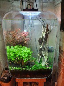 Aquarium with newly planted Cryptocoryne lutea Hobbit