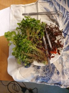 plant cuttings removed from aquarium
