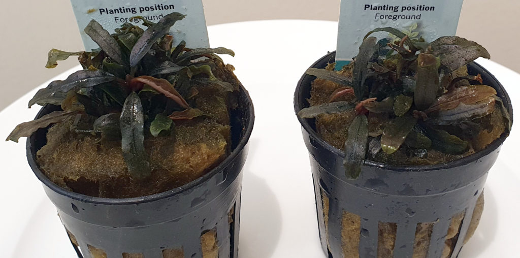 Bucephalandra caterina pots