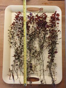 Ludwigia palustris mini 'Super Red' removed from the aquarium