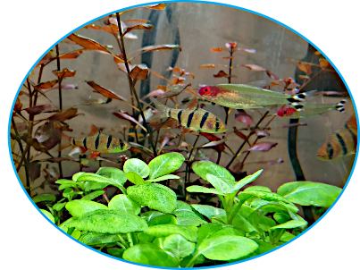Five banded barbs and rummy nosed tetras