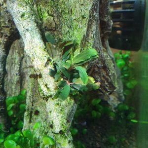 Bucephalandra caterina newly planted