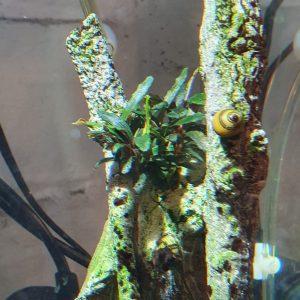 Bucephalandra caterina seven weeks after planting