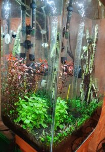 Three weeks post-replanted Ludwigia tops (side view)