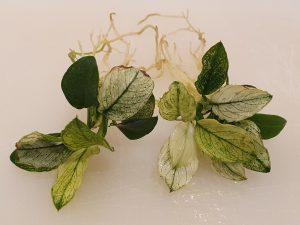 Anubias barteri nana 'Pinto' individual plantlets