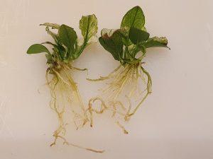 Anubias barteri nana 'Pinto' showing root system