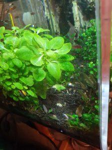 Newly planted Cryptocoryne lutea 'Hobbit'