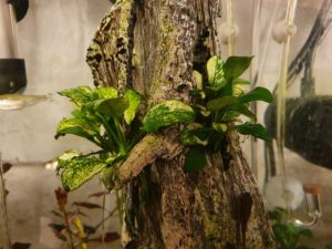 Anubias 'Pinto' after four months
