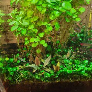Cryptocoryne lutea 'Hobbit' overgrown by Marsilea hirsuta