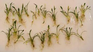 Cryptocoryne parva individual plantlets