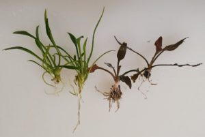 Emersed growth form C. parva vs. submerged growth form C. lutea 'Hobbit'