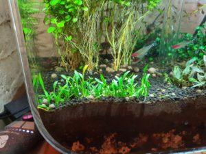 Cryptocoryne parva planted in an aquarium
